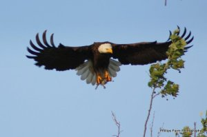 cool flying eagle with fish