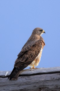 Hawk in Idaho. There are around 270 species of hawks that can be found on all continents except Antarctica