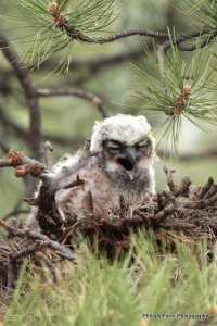 Sibling to the other baby Great Horned Owl.