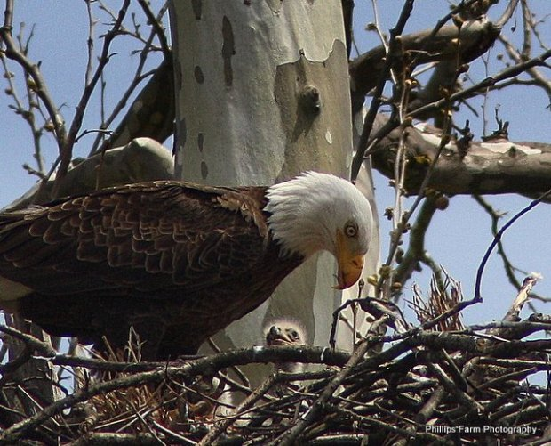 eagle with baby