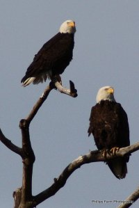 eagles on branches