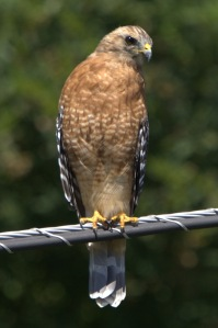 Medium size hawk in Germantown.