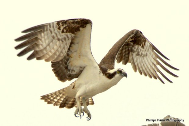 The Osprey is particularly well adapted for catching fish. They have reversible outer toes, sharp spicules on the underside of the toes, closable nostrils to keep out water during dives, and backwards-facing scales on the talons which act as barbs to help hold its catch.