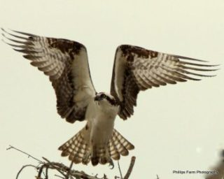 You can spot Ospreys at the Chesapeake Bay.