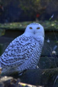 Snowy owls Snowy Owls are diurnal, which means that unlike most other owls they are active and hunt during the day and night.