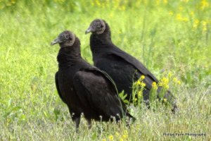 Two Black Vultures.