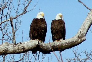 two cool bald eagles sitting in tree