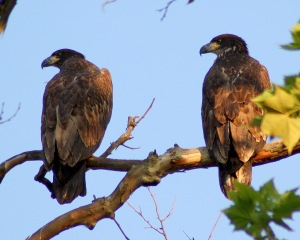 Two young bald eagles after flight